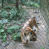 Female tiger saved from poachers
