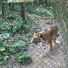 Female tiger saved from poachers at Kuang Si falls