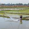 Fishing in the paddy