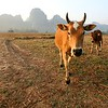 A curious cow and her calf pose on the dry rice paddy.