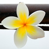 Champa (Plumeria), the national flower of Laos.