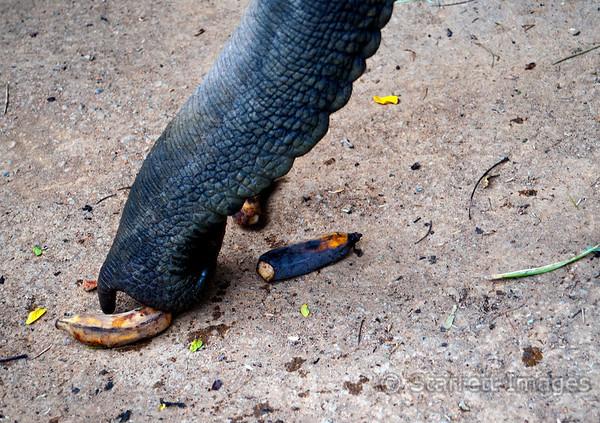 Elephant, inhaling bananas