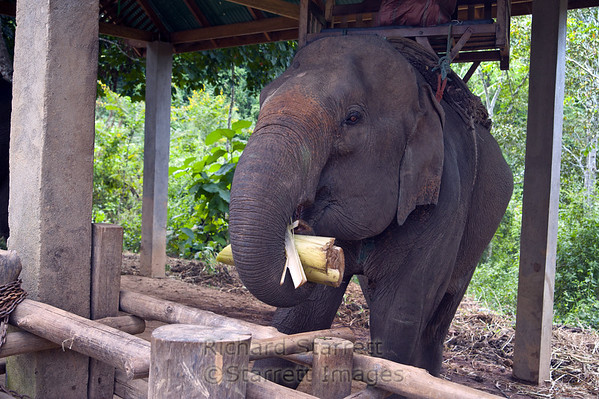 Elephant eating fresh palm heart