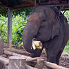 Elephant eating fresh palm heart