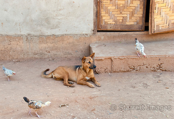 Ban Phanom village.  Dogs and poultry coexist