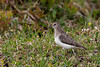Temmincks ryle, Temmincks stint,