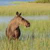 Eurasian elk