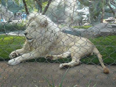 White Lions Mirage 0509 (4)