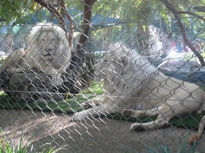 White Lions Mirage 0509