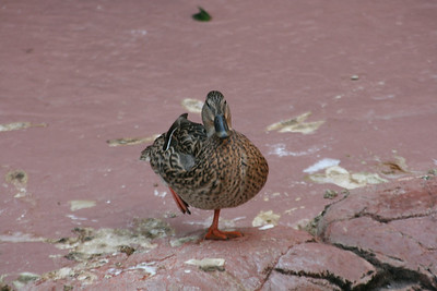 Duck at the Flamingo
