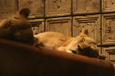 Sleeping Lions at the MGM