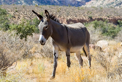 This mule thing is a Wild Burro.  We saw two that day.