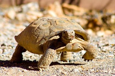 A speedy tortoise