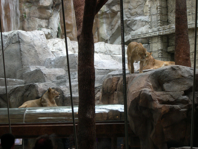 Lions at MGM Hotel