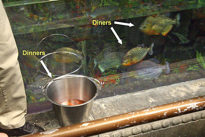 We happened to reach the piranha tank at feeding time.  Dinner tonight (and every night probably) was live goldfish.  For the squeamish, I won't show the actual feeding pics (they weren't very clear anyway).