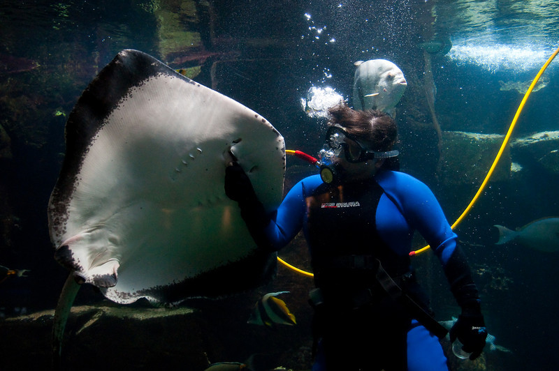 Stingray being fed