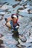 Mandarin duck perturbed