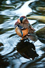 Mandarin duck at rest