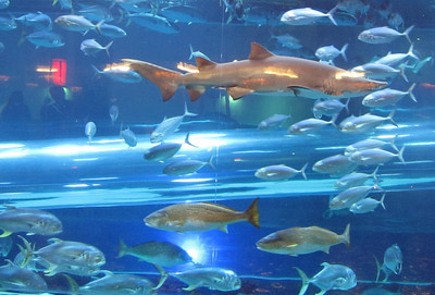 Golden Nugget aquarium