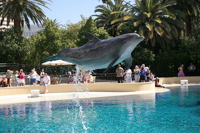 Dolphin at the 'Dolphin Habitat' at the Mirage Hotel