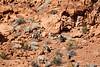 Desert Big Horn Sheep, Valley of Fire State Park NV-4854