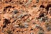 Desert Big Horn Sheep, Valley of Fire State Park NV-4860