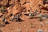 Desert Big Horn Sheep, Valley of Fire State Park NV-4870