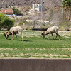 Rams on the side of the road