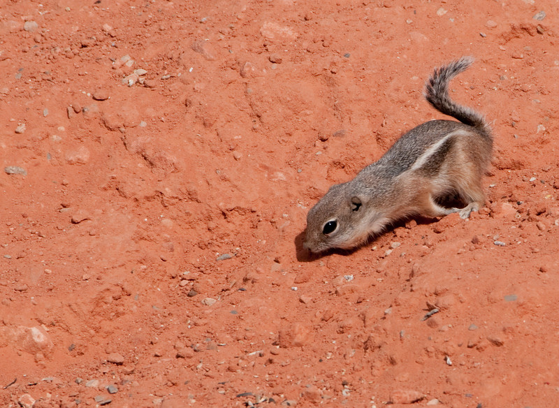 Valley of Fire Nevada State Park - Antelope Ground Squirrel