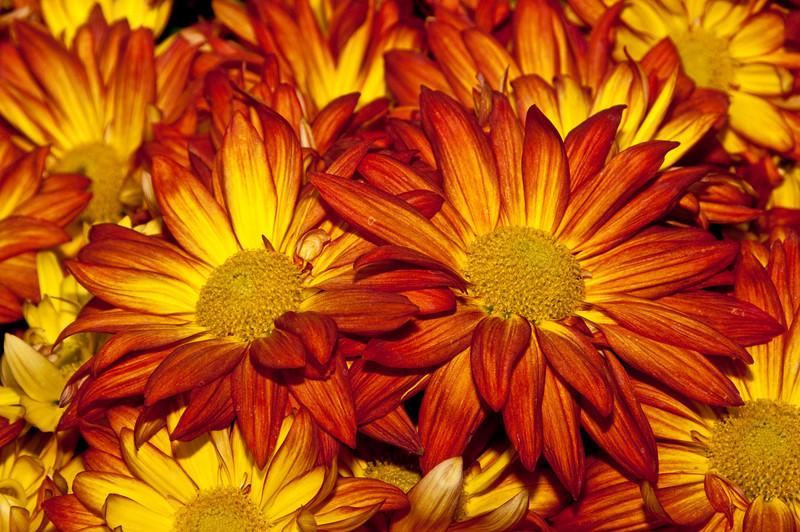Bellagio Casino Conservatory & Botanical Gardens - Chrysanthemum
