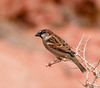 Valley of Fire Nevada State Park - male House Sparrow