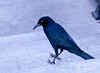 Great-tailed Grackle in front of Caesar Palace
