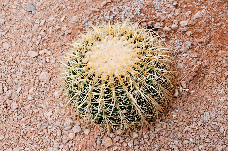 Valley of Fire Nevada State Park - cactus plant