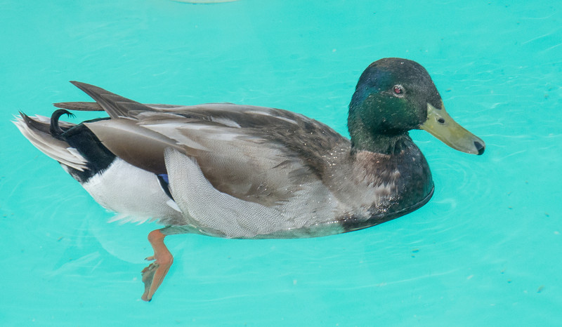 I was even surprised I captured an image of a Mallard Duck  swimming arround in one of Caesars Palace's pools.