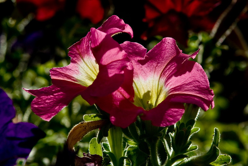 Backlighting for this flower image.