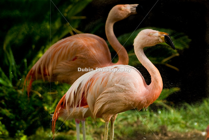 This photo of the Chilean Flamingos was taken at the  Flamingo Hotel  Wildlife Habitat in Las Vegas.
