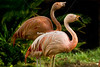 This photo of the Chilean Flamingos was taken at the  Flamingo Hotel  Wildlife Habitat in Las Vegas.