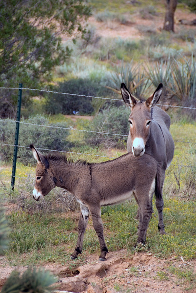 Wild Burros at Red Rock Canyon just West of Las Vegas.09/01/07 Nevada Desert SW of Las Vegas
