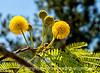 Leadball Tree