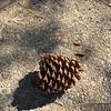 Massive pine cone