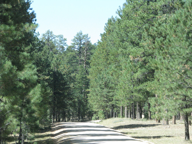 By this time not a Aspen in sight, just plently of pine trees.