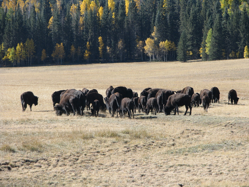 At this time I believe we were seeing Bison's,later I would learn that these are hy-breeds. A cross between bison and cattle,the left overs from a failed ranching enterprise that were just set loose.