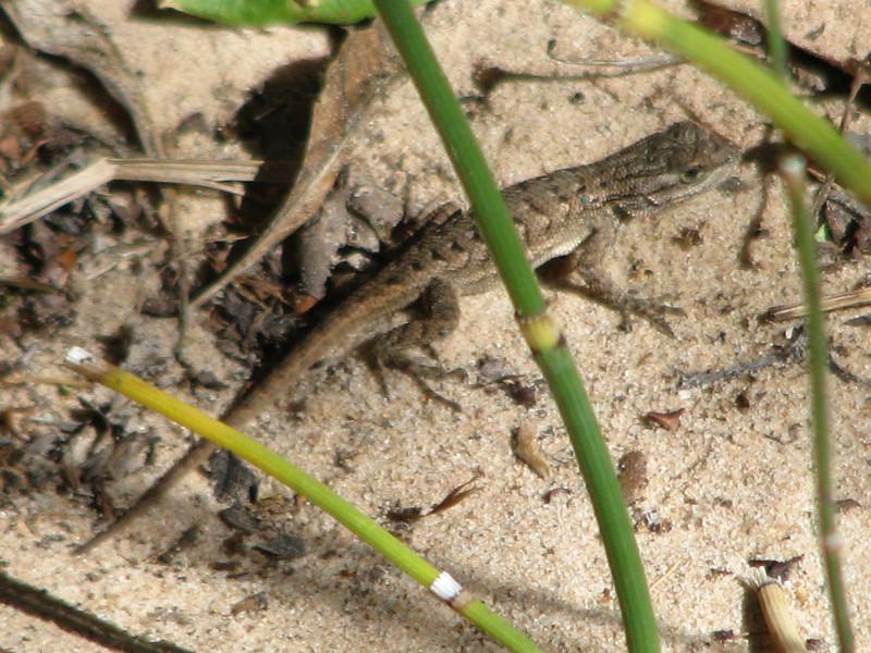 A lizard hiding among some Scouringrush.