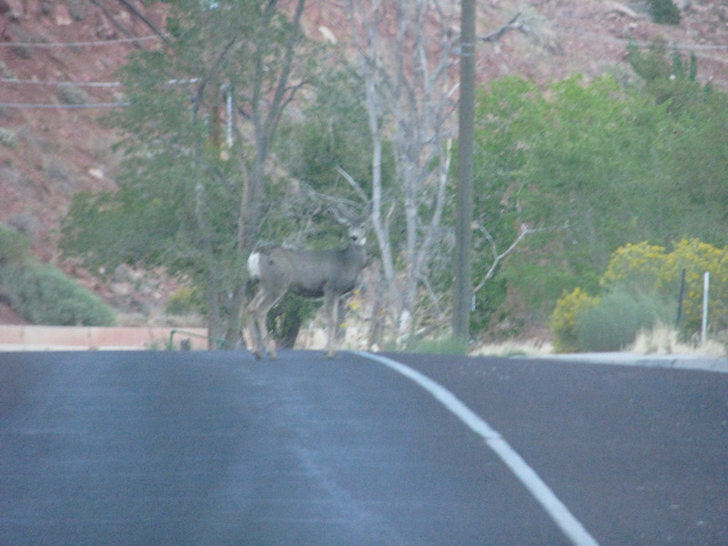 Why did the deer cross the road? This deer was completely undaunted by any cars coming on by.