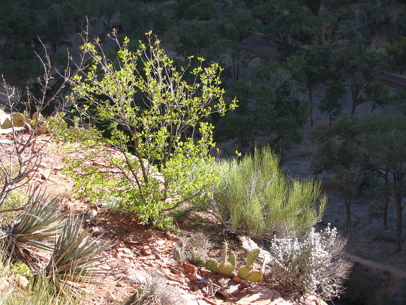 There is no lack of shrubs,trees and other vegetation along this trail,the road to farther area of Zion can be seen below.