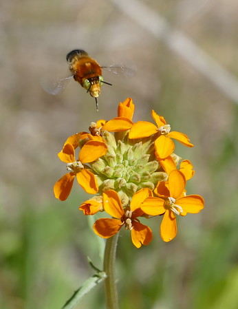 Wildflowers and insects along Coalinga Road