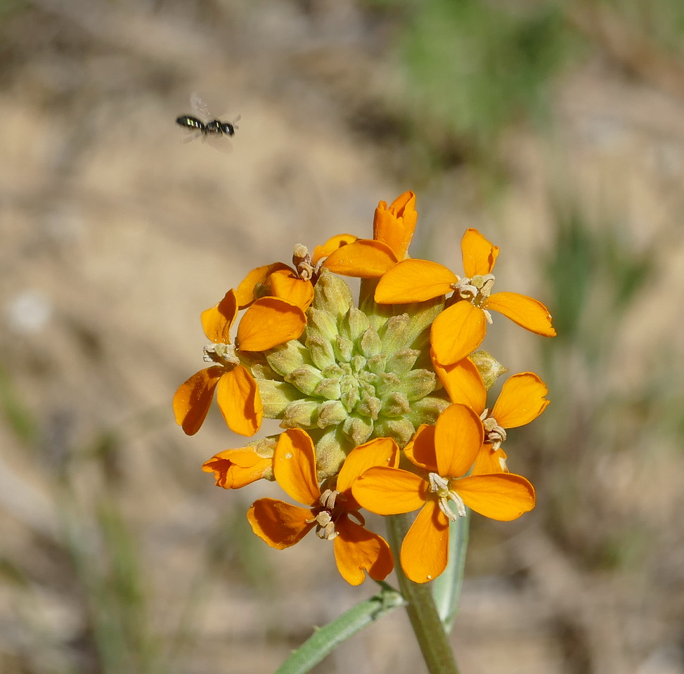 And one more.  None of the small bees landed on the wallflower but it was on their route.