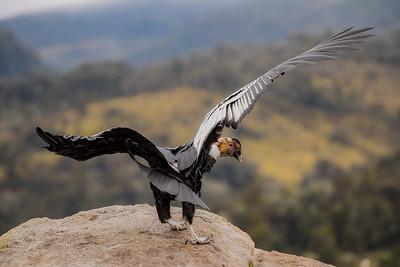 L'oeil du condor