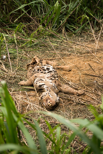 Dead jaguar (Panthera onca).  Its heavily-worn teeth suggest it died of old age.