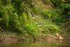 Black Skimmers (Rynchops niger)